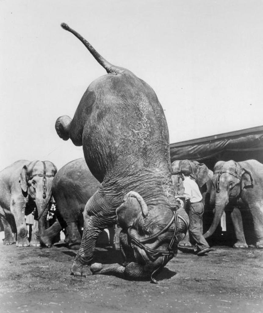 Ruth, elephant herd leader of the Ringling Brothers Barnum circus, does a graceful headstand, 1955, by Denver Post
